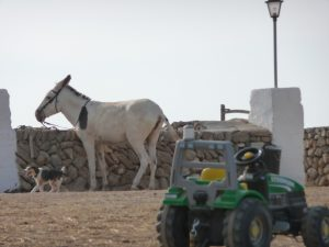 Burro en Cavalls Son Àngel