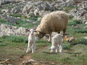 Crías de oveja en el Camí de Cavalls